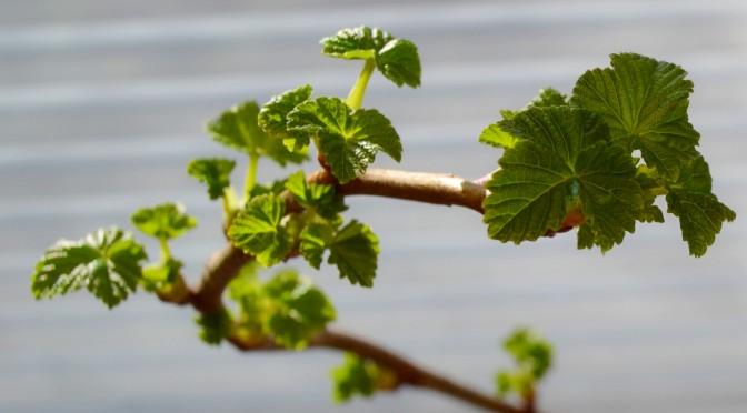 Marjapensaat ja omenapuut mielessä