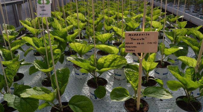 Taimikasvatusta Saaren kartanon puutarhaoppilaitoksella